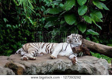 White Bengal tiger sleeping on the rock which his head put on the wood which surround by tropical green tree