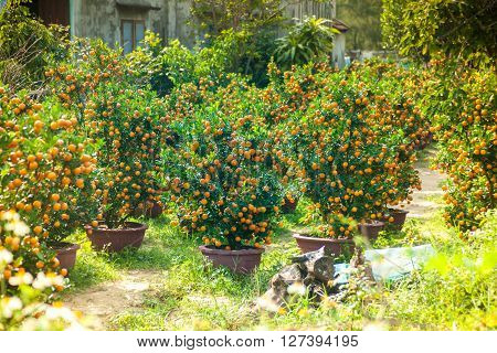 Little tangeries trees in pots in a garden. These trees are used as a holiday decoration in Asia.