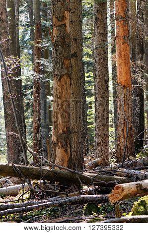 Beech-fir forest with a lot of deadwood.