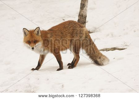 a european  red fox standing on snow