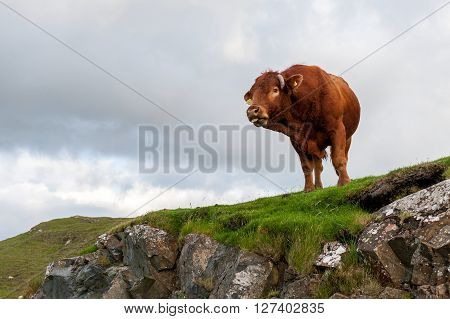 Wild cow on the rock. Isle of Skye, Scotland.
