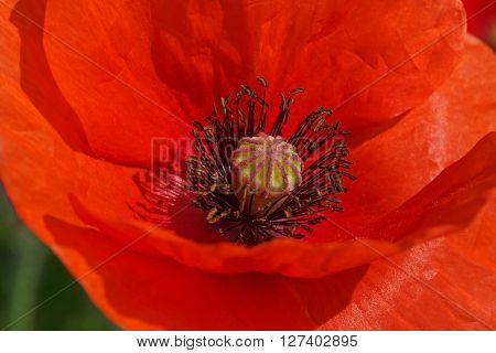 close up of red poppy flower inside