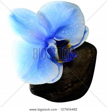 Orchid Blue Flower Isolated On White Background