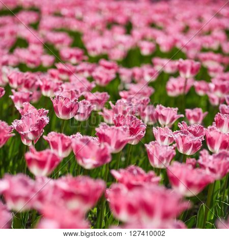 Field of spring tulips, flowers is a lot of bright, mature flowers, flower bed, bright flower scorching, buds of tulips, seasonal flowers, beautiful flowers close up, square image.