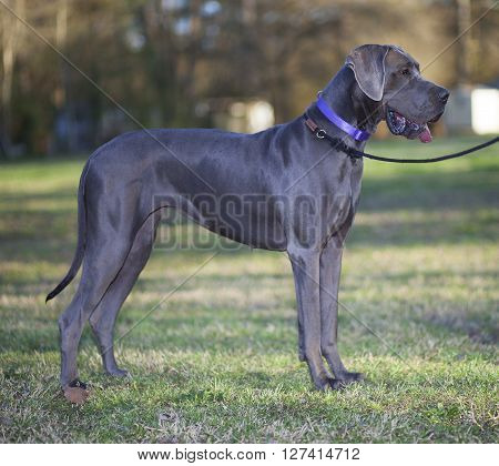 Grey colored purebred Great Dane on some grass