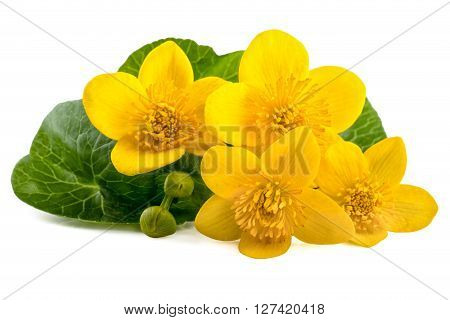 Yellow flowers of caltha (Caltha palustris) on white background