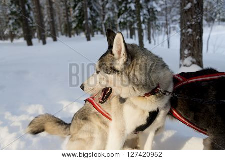 Dogs sledding with huskies in a beautiful wintry landscape Swedish Lapland during winter