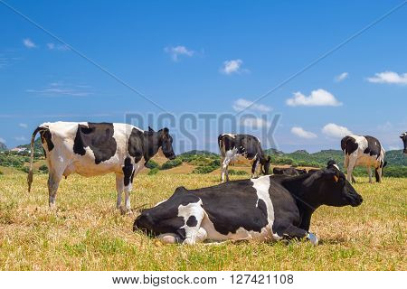 Cows grazing in the field in the summer sunlight.