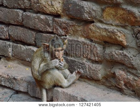 baby long tailed macaque eating cracker at the prang with monkeys in thailand