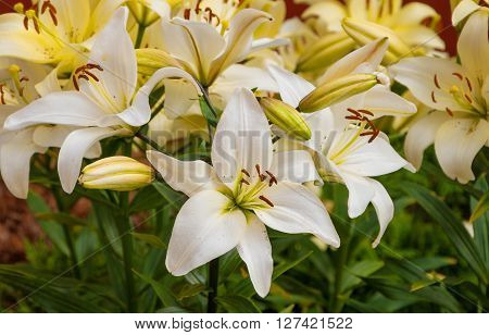 Flowers white lilies on a bed in the garden