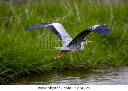 Heron en vuelo