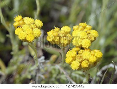 Helichrysum stoechas barrelieri syn. Helichrysum conglobatum Yellow flower from Cyprus