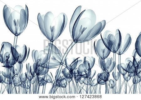 X-ray Image Of A Flower Isolated On White , The Crocus