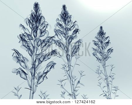 X-ray Image Of A Flower Isolated On White , The Antirrhinum_sp_snapdragon