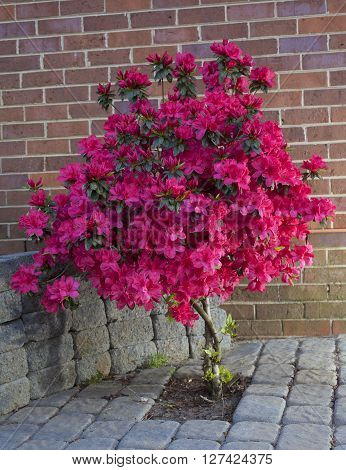 Azalea in the spring in a brick patio with bright red blooms