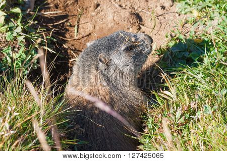 Big marmot in burrow, Dolomites mountains in Italy