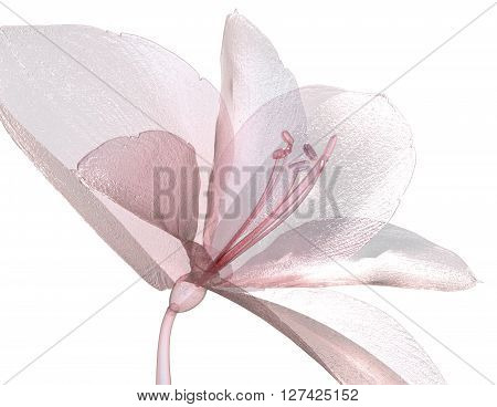 Image Of A Flower Isolated On White , The Amaryllis