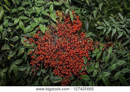 green Shrub of red fruits. Aucuba Japonica