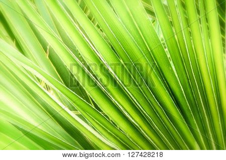 Green palm leaf background. Close up shot