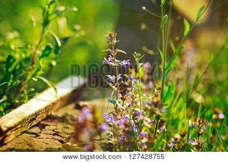 violet and dark-blue flowers and green grass with piece of concrete on the nature background with ray of sun,grass,summer,vacation,relax,romantic,not focused rays,sun,spring,toned,garden nature