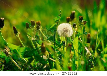 dandelions are on the green background with gerb and grass,summer,vacation,relax,romantic,not focused rays,sun,spring,toned,garden nature