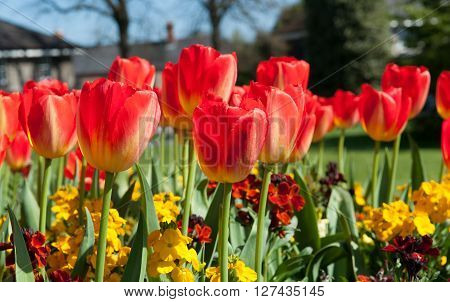Beautiful red tulips in the garden sort daydream on a spring time