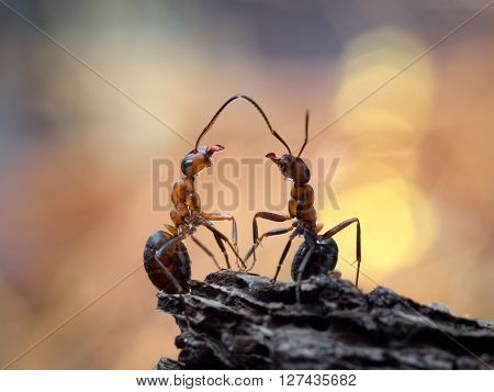 The meeting of two ants. Beautiful ants communicate