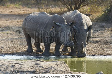 Two white rhino bulls standing at the edge of a lake to drink