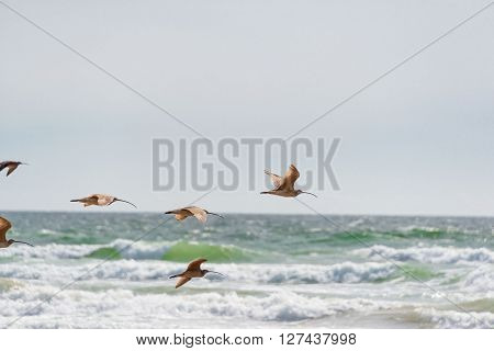 Long Bill Curlew In Flight At Pismo Beach, California
