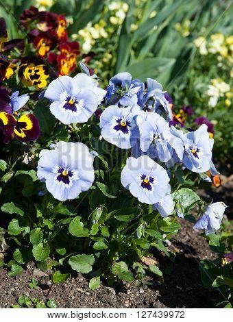 Blue flower in the garden Latin name Viola tricolor
