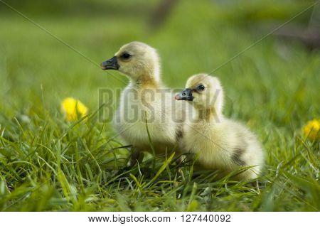 Portrait of a little gosling on meadow, Netherlands