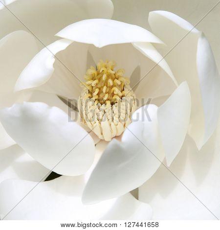 Close up of beautiful cream magnolia showing cone like receptacle