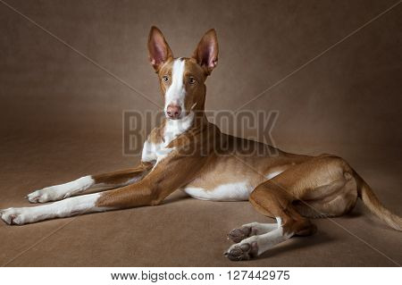 One year old Ibizan Hound (Podenco ibicenco) dog lying in front of brown background