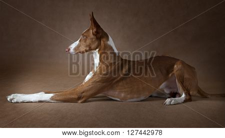 Purebred Podenco ibicenco dog lying in front of brown background