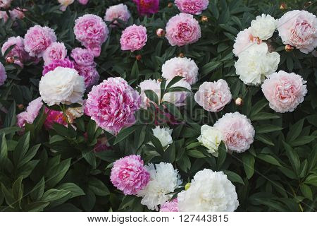 Large Bush of peonies in the garden