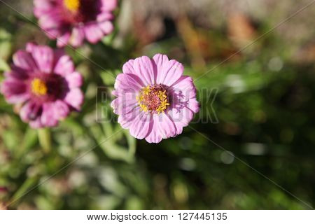 flowers and pink zinnia flowers., pink zinnia flowers