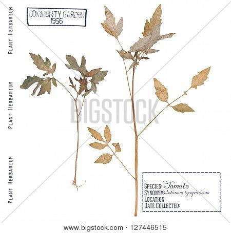 Herbarium of pressed parts of the tomato plants. Leaves stems roots of the tomato isolated white