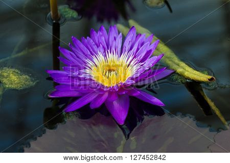 Perfect violette water lily in the pond