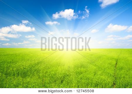 green field of flax and blue sky