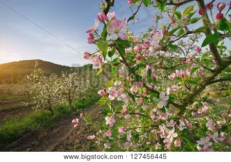Apple tree in garden. Spring nature composition.
