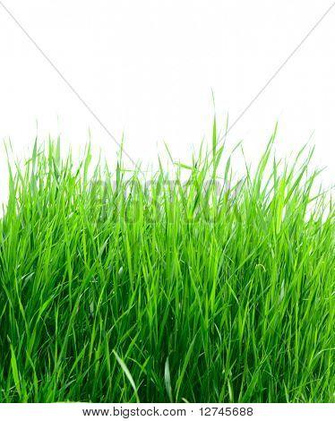 grüne Gras auf dem weißen Hintergrund isoliert