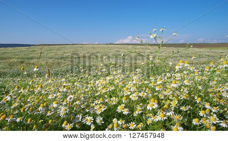 Spring daisy meadow. Composition of nature.
