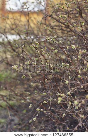 honeysuckle leaf bud close up. spring in Siberia