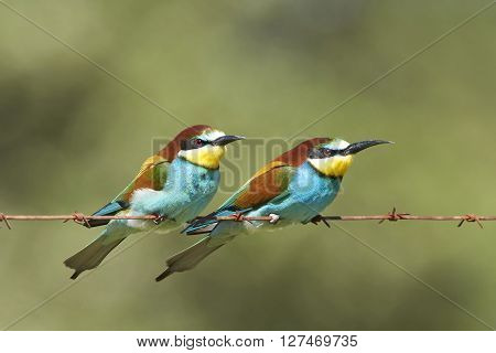 Two European bee-eaters resting on a barb wire in their habitat