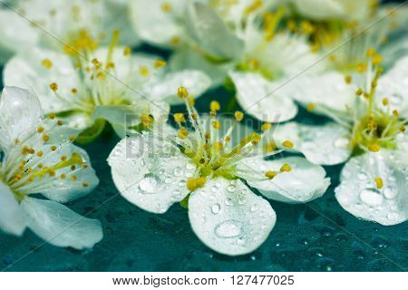 beautiful fresh spring white pear flower with waterdrops on turquoise background. macro
