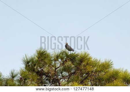 Little Blue Heron perched in pine at Babcock-Webb Wildlife Management Area
