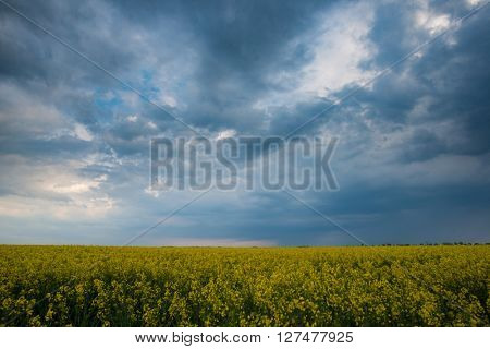 Dramatic sky over rapeseed field. Agricultural landscape. Yellow rapeseed flower and stormy weather clouds.