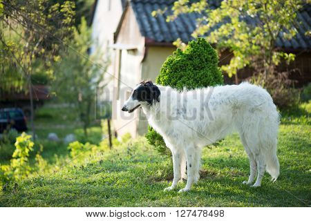 Russian Wolfhound dog posing outdoor