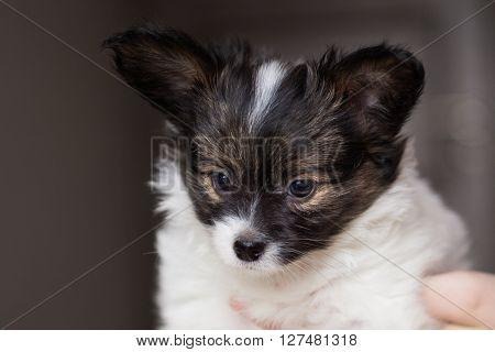 Cute small papillon domestic tricolour puppy in home