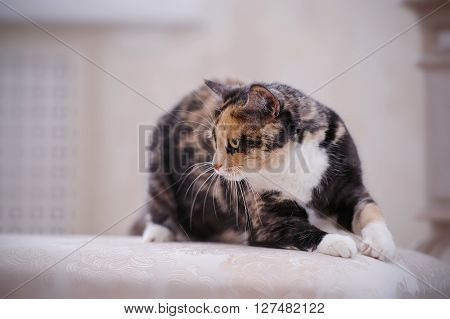 The Angry multi-colored cat. domestic cat with white paws